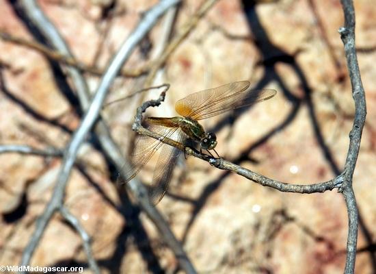 dragonfly (Manambolo)