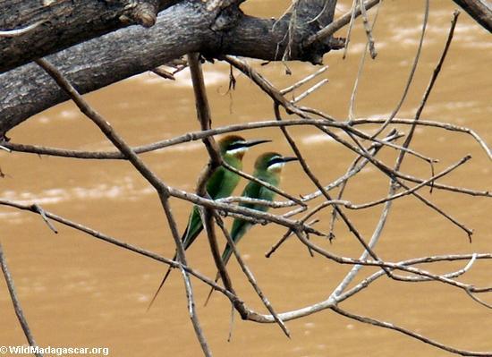 Madagascar bee-eaters (Merops superciliosus)(Manambolo)