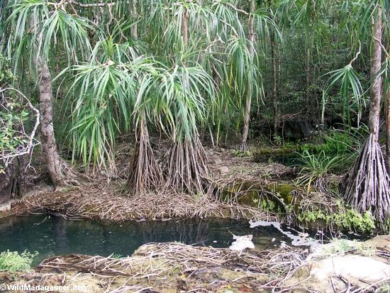 Oly canyon palms (Manambolo)
