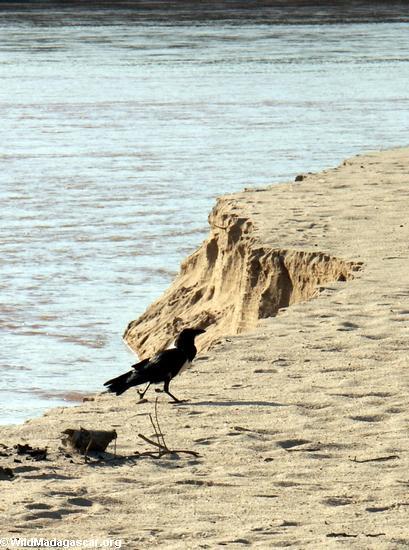 pied crow sandbar(Manambolo)
