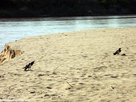 pied crows(Manambolo)