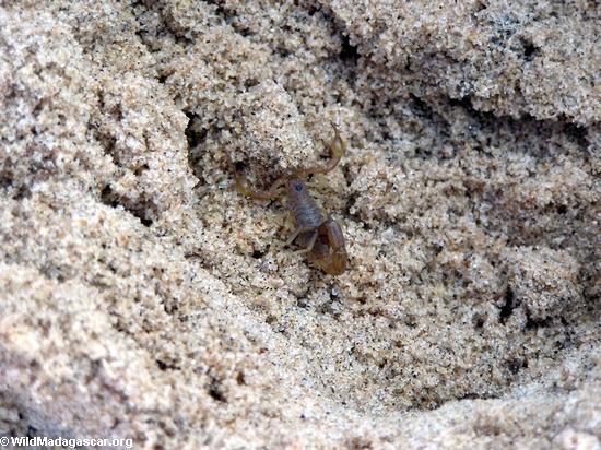 Scorpion(Manambolo)