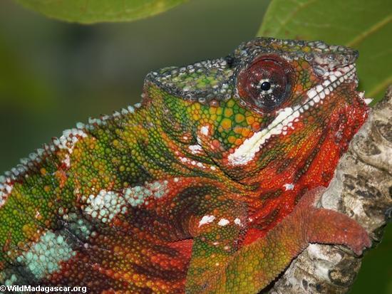 Furcifer pardalis (panther chameleon) outside Maroantsetra(Maroantsetra)