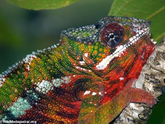 Panther chameleon in Maroantsetra, Madagascar