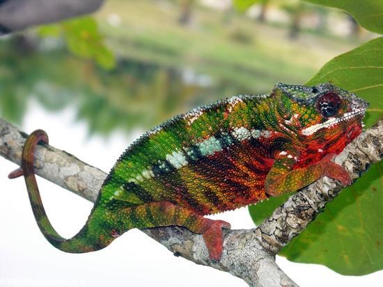 Pardalis chameleon near Maroantsetra(Maroantsetra)