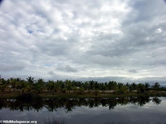 Palm-lined canal near Maroantsetra (Maroantsetra)