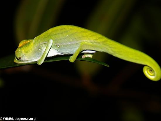 Calumma nasuta chameleon (Masoala NP)