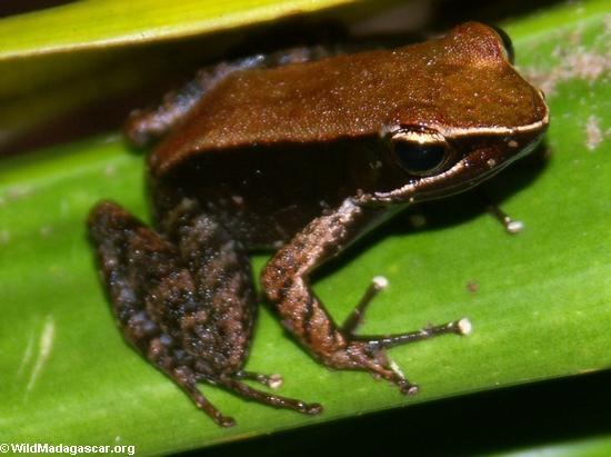 Mantella betsileo frog(Masoala NP)