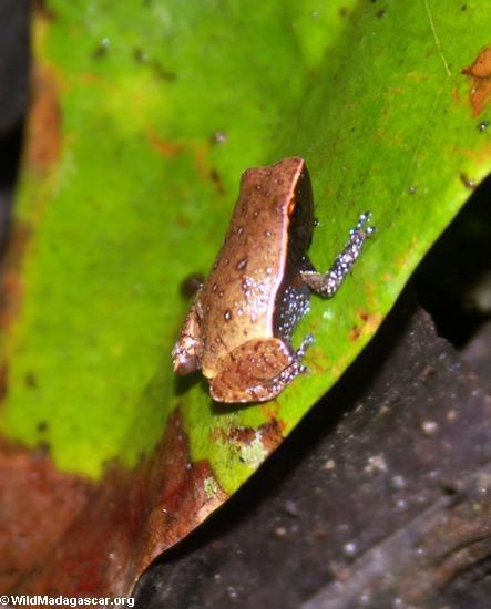 Plethodontohyla inguinalis frog(Masoala NP)