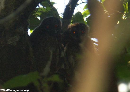 Eastern Woolly Lemur (Avahi laniger)(Masoala NP)