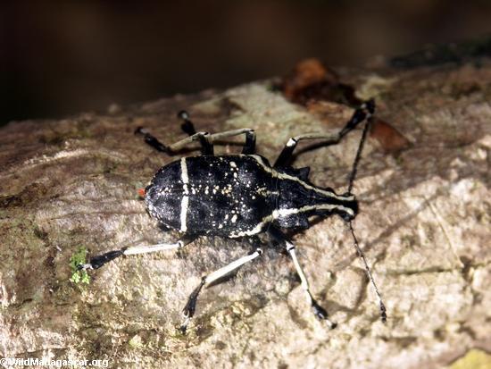 Masoala peninsula beetle(Masoala NP)
