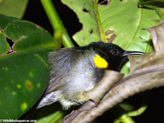 Sleeping sunbird(Masoala NP)