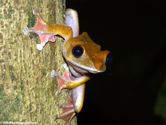 Boophis madagascariensis frog, Masoala National Park (Masoala NP)