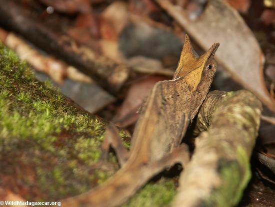 Brookesia superciliaris (Masoala NP)