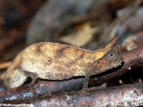 Brookesia superciliaris chameleon; Masoala NP