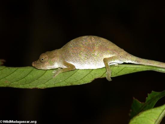 Calumma nasuta (sleeping on a leaf in the Masoala rainforest)