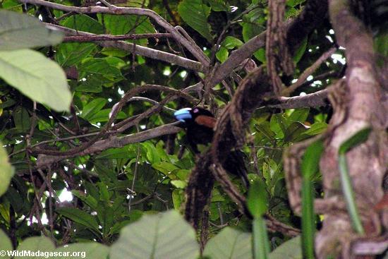 Helmet vanga bird (Masoala NP)