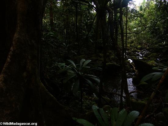 Creek of Masoala NP (Masoala NP)