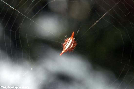 Шип паука (gasteracanthinae югу от семьи)