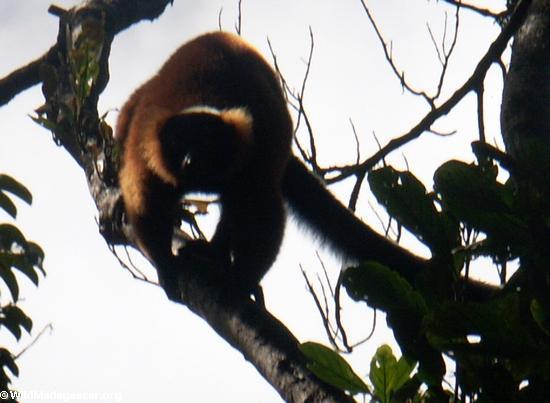 Red ruffed lemur (Varecia variegata rubra)(Masoala NP)