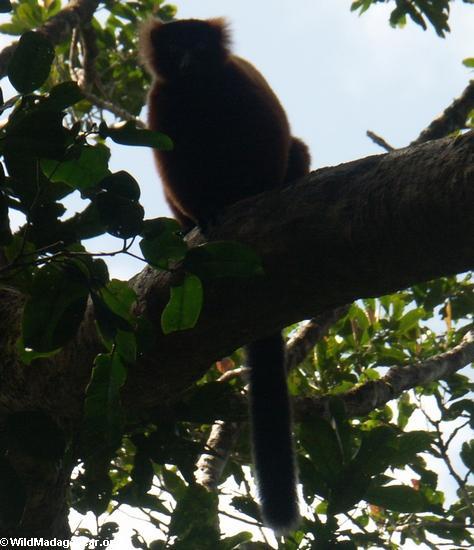 Varecia variegata rubra (Red ruffed lemur)(Masoala NP)