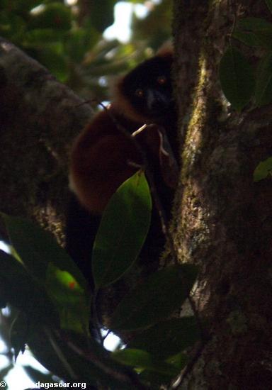 Varecia variegata rubra lemur peeking around tree trunk (Masoala NP)