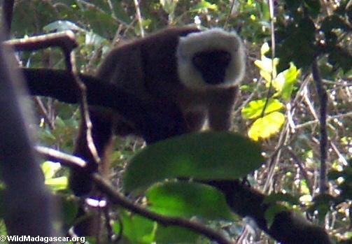 White-fronted brown lemur(Masoala NP)