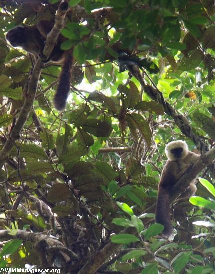 White-fronted brown lemur (Eulemur fulvus albifrons) (Masoala NP)