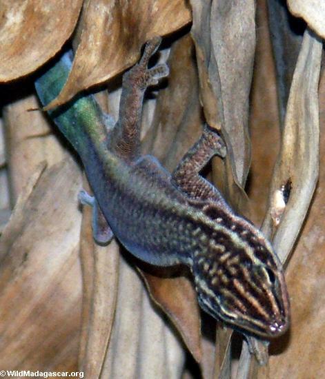 Phelsuma barbouri  (Andingitra)