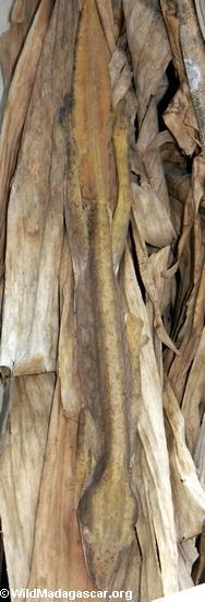 Uroplatus lineata  (Marojejy)