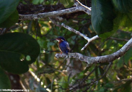 Malagasy Kingfisher (Alcedo vintsioides) (Nosy Mangabe)