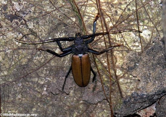 Longhorn Beetle (Cerambycidae)