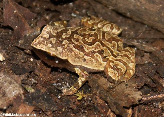Plethodontohyla notosticta frog on Nosy Mangabe