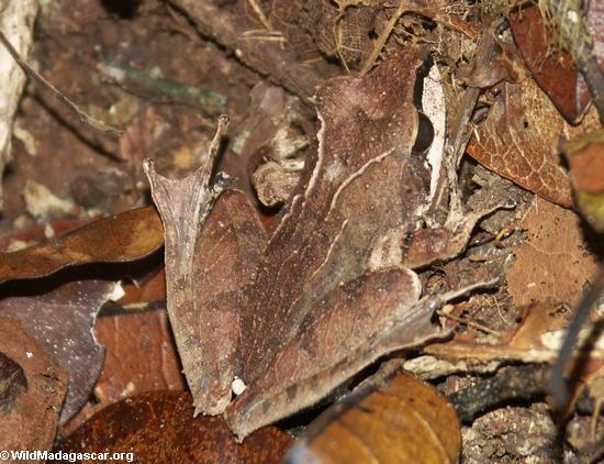 Mantidactylus asper frog on Nosy Mangabe (Nosy Mangabe)