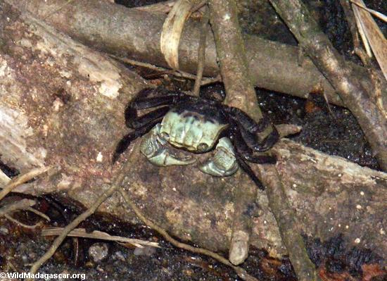 Land crab (Nosy Mangabe)