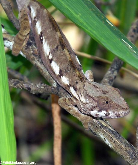 Adult pardalis chameleon (Nosy Mangabe)