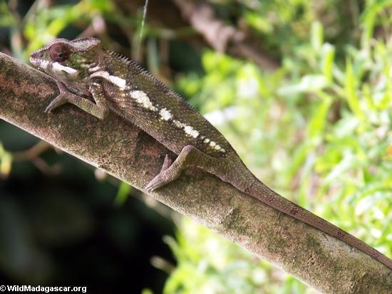 Young pardalis chameleon (Nosy Mangabe)