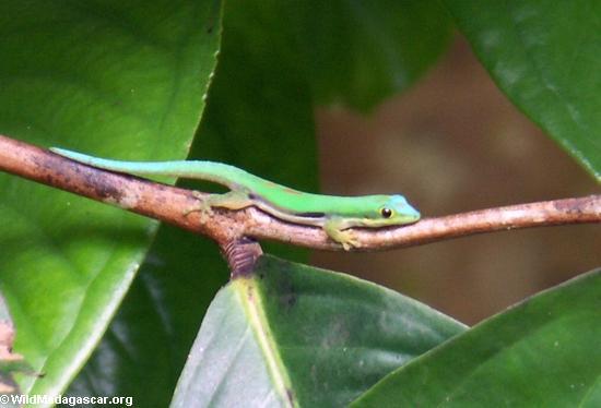 Phelsuma Day Gecko (Phelsuma lineata bombetokensis), Nosy Mangabe (Nosy Mangabe)