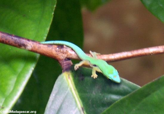 Phelsuma pusilla Gecko, Nosy Mangabe (Nosy Mangabe)