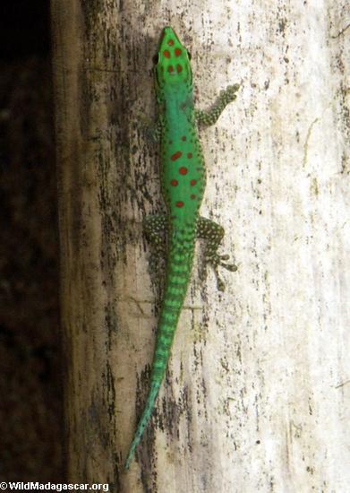 Phelsuma guttata Day Gecko on bamboo (Nosy Mangabe)