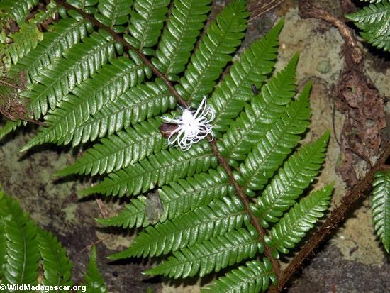 Phromnia rosea nymphs (Nosy Mangabe)