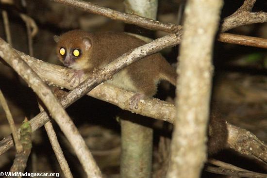 Rufus mouse lemur (Nosy Mangabe)