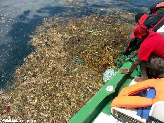 Sea turtle caught in fishing net (Nosy Mangabe)