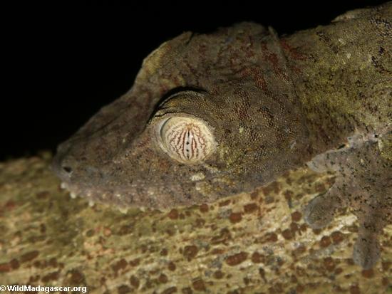 Uroplatus fimbriatus leaf-tailed gecko (Nosy Mangabe)