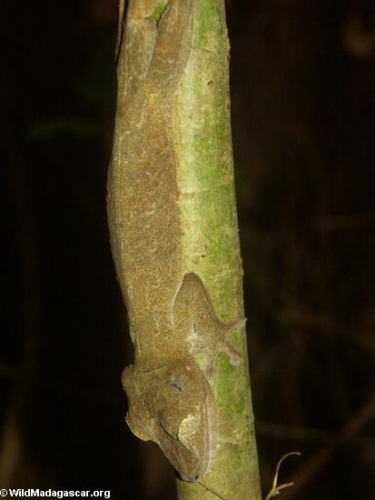 Uroplatus fimbriatus on Nosy Mangabe (Nosy Mangabe)