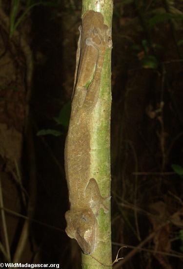 Uroplatus fimbriatus gecko on Nosy Mangabe [uroplatus_fimbriatus-0124]