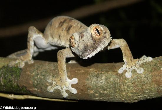 Uroplatus fimbriatus gecko on Nosy Mangabe [uroplatus_fimbriatus-0143]