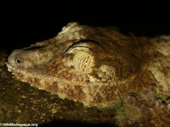 Uroplatus fimbriatus gecko on Nosy Mangabe [uroplatus_fimbriatus-211]