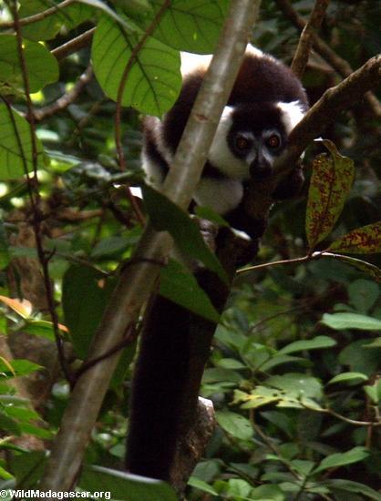 Varecia variegata variegata lemur (Nosy Mangabe)