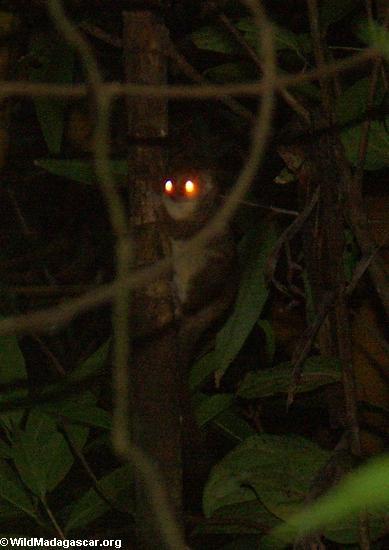 Avahi laniger (woolley lemur) (Nosy Mangabe)